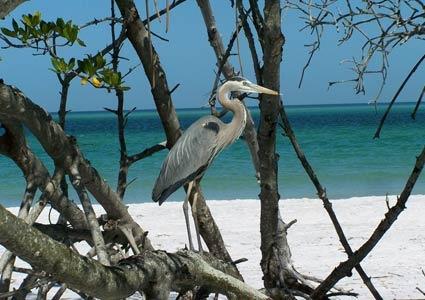 Blue Heron Anna Maria Island, Florida www.annamariaislandhomerental.com