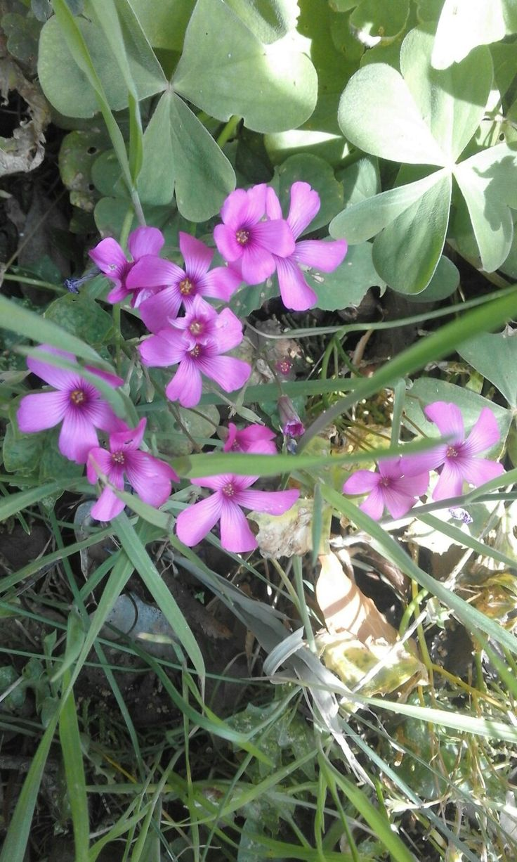 Fiorellini effimeri crescono in primavera nei prati