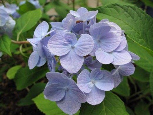 Маленький МК по лепке цветка гортензии (один из вариантов) | Страна Мастеров