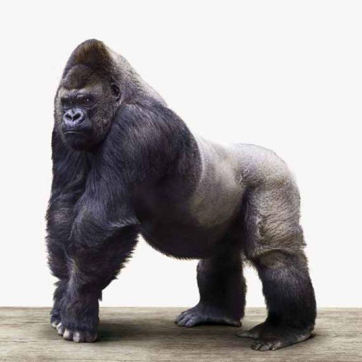 Gorilla voor in de woonkamer of stoere jongenskamer.