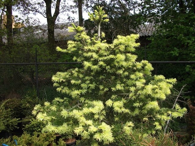 244 Best Images About Ornamental Conifers On Pinterest