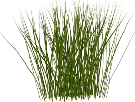 50 best images about tall grass on pinterest perspective for Tall oriental grass