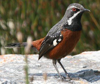 Cape Rockjumper - a South African bird