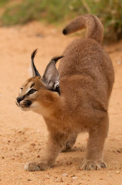 Caracal / Desert Lynx (Caracal caracal) Its most prominent feature is its long(2 inch)black ear tufts.It is smaller than a Lynx and has short, reddish-brown fur with no markings.Melanistic (black) forms occur.A greyish form occurs in Israel. It is slender with a short tail(longer than the Lynx)and no ruff. Its diet includes birds, small mammals and antelope fawns.