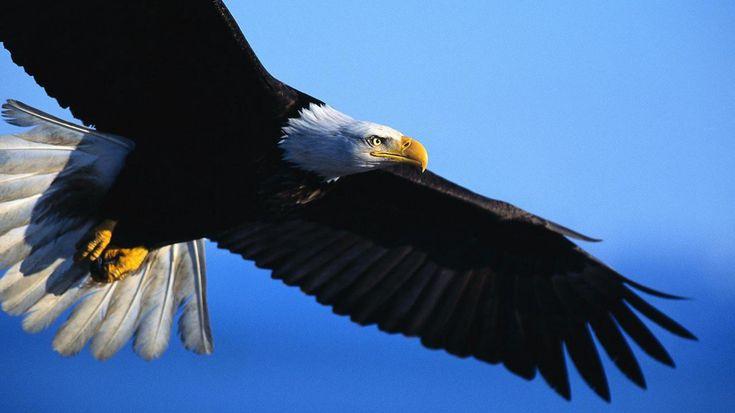 fotos de aguilas   Galería de fotos de águilas. Fotos de águilas