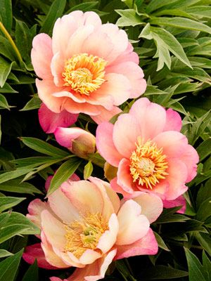 Google Image Result for http://www.blackrhinoservices.com/julia_rose_peony.jpg