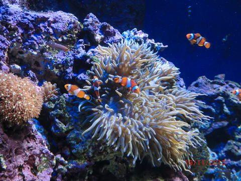 En el tercer puesto de la lista figuran los corales, de los que un 80% pueden desaparecer dentro de 40 años, diferentes informes ponen de manifiesto que una tercera parte de los arrecifes coralinos están en peligro de extinción.