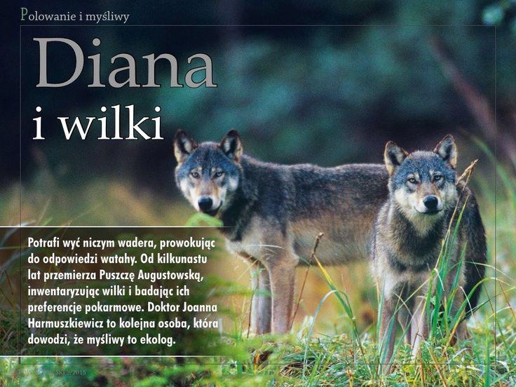 """We wrześniowym wydaniu """"Łowca Polskiego"""" publikujemy sylwetkę Joanny Harmuszkiewicz, która nieprzerwanie monitoruje populację wilków bytujących w Puszczy Augustowskiej. Wyniki jej badań wskazują, że wilków przybywa nam na tyle szybko, że moglibyśmy już aktywnie gospodarować ich populacją w wielu łowiskach na wschód o linii Wisły.  Zapraszamy do lektury!"""