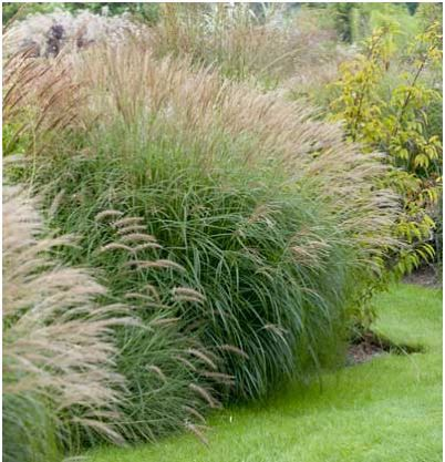 612 best images about ornamental grasses and landscape for Maiden grass landscaping ideas