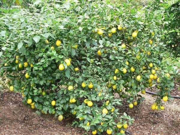 1000 images about lemon lemon trees on pinterest for Lemon plant images