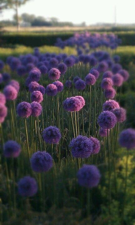 Alliumbollen in voortuin. |Pinned from PinTo for iPad|