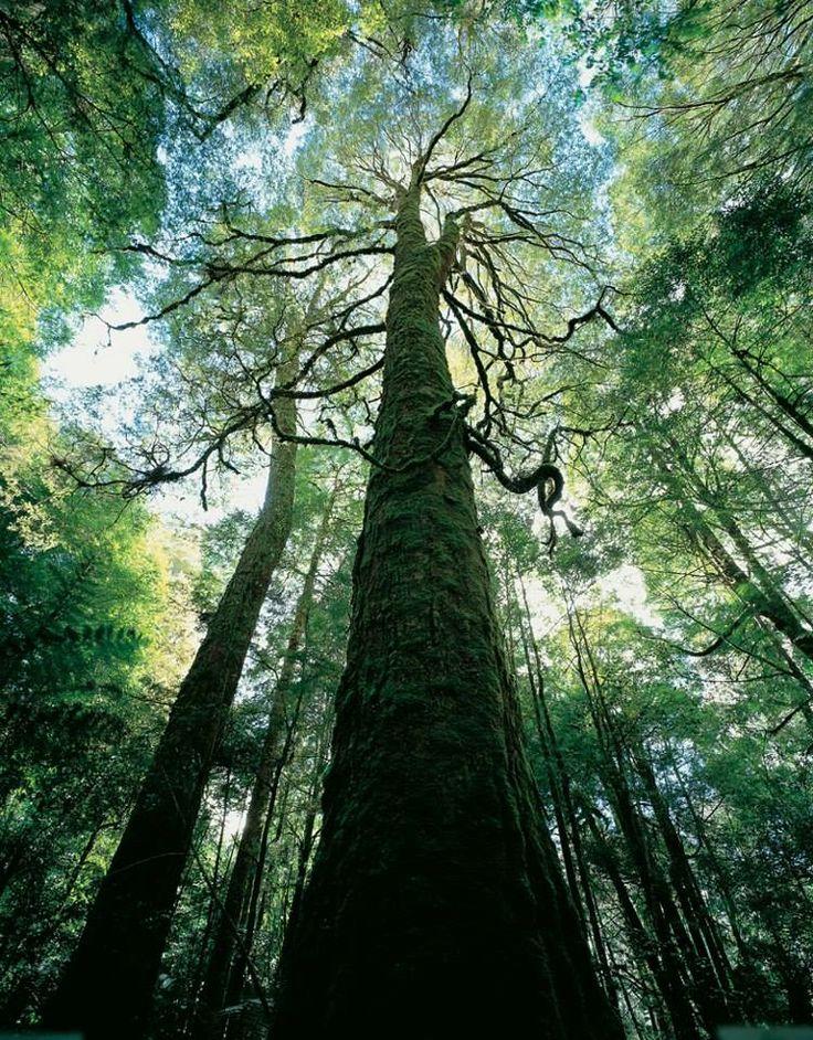 Tasmania's World Heritage forests saved