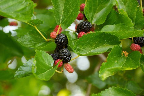 Why You Should Plant a Mulberry Tree                                                                                                                                                                                 More