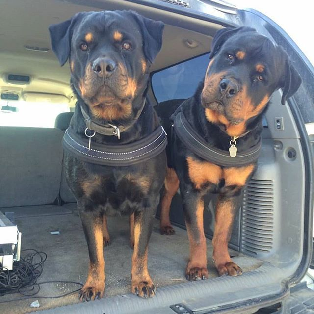 Image May Contain Dog Regram Via Rottweilerlover Puppy