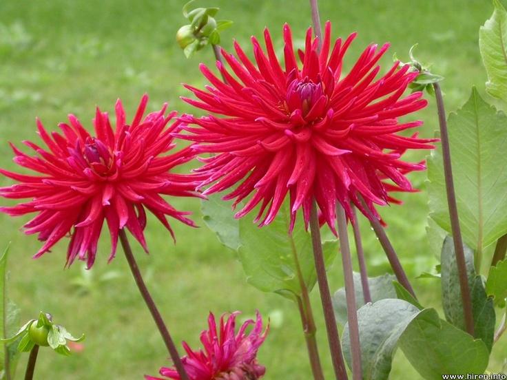 Crysanthemum, pink