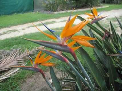 Dwarf Bird Of Paradise Strelitzia Reginae Is More Pee And Delicate Than The Common Variety Only Growing To 1m X 0 6m Patio Pinterest