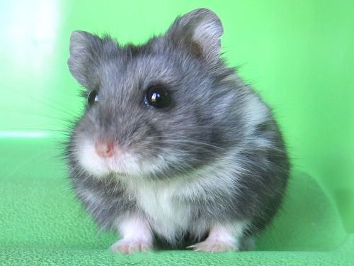 Best Oreos Friends And Family Images On Pinterest Hamster - Hamster bartenders cutest thing youve ever seen