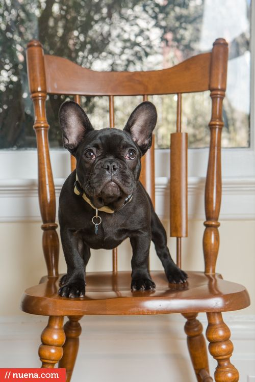 french bulldog puppy - san francisco pet photographer