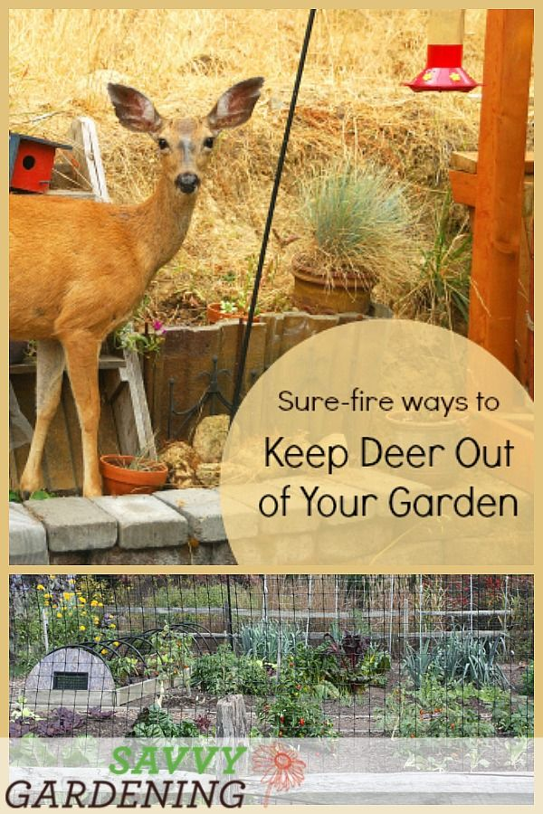 Deer Proof Gardens 4 Sure Fire Ways To Keep Deer Out Of Your Garden Garden Pests Garden Pest Control Raised Garden Beds