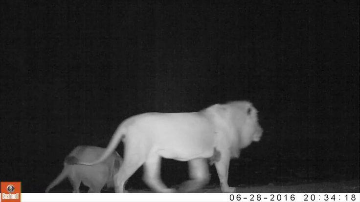 nThambo's Camera Trap Secrets: Lions at the Pan