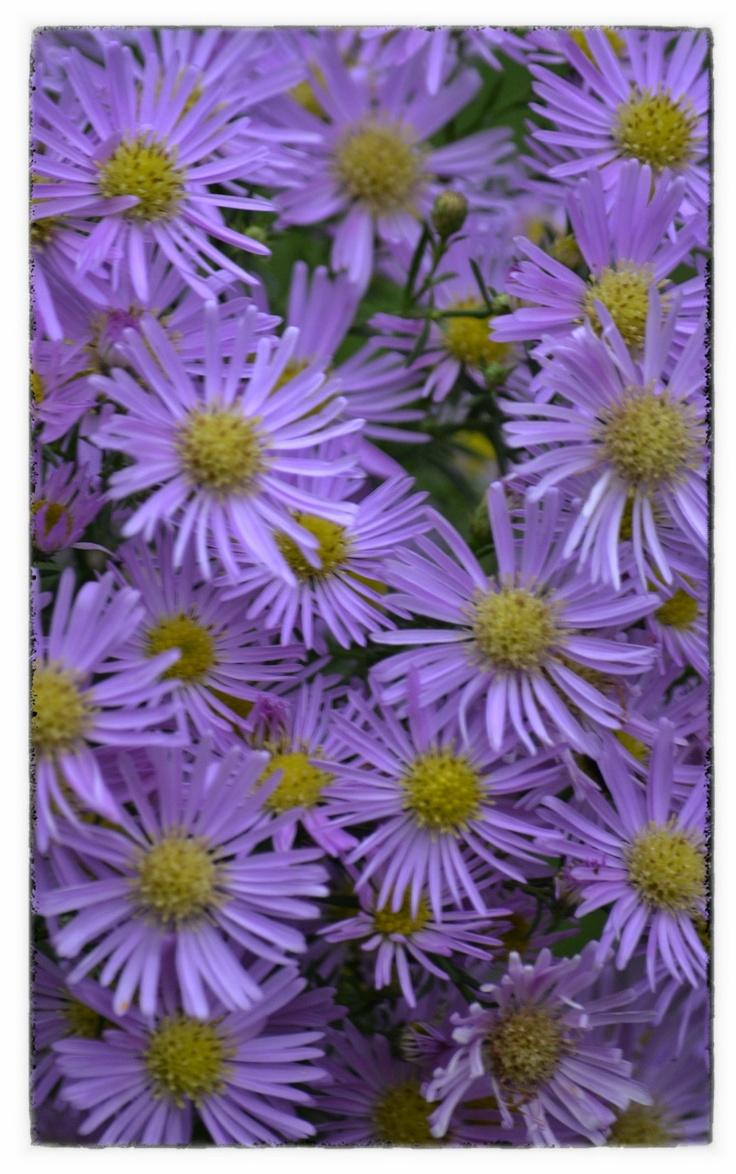 Herfstasters voor een beetje kleur in de tuin! #ECOstyle #bloemen #herfst