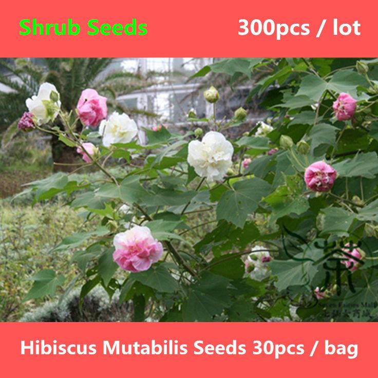 Beautifying Hibiscus Mutabilis Seeds 300pcs, Mu Fu Rong Confederate Rose Shrub Seeds, Ornamental Plant Cotton Rosemallow Seeds