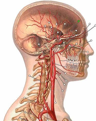 Clase del miercoles 8 de junio de 2011. Catedra de Anatomia Humana. Carrera de Medicina.    La irrigacion arterial del cuello esta dada por ...