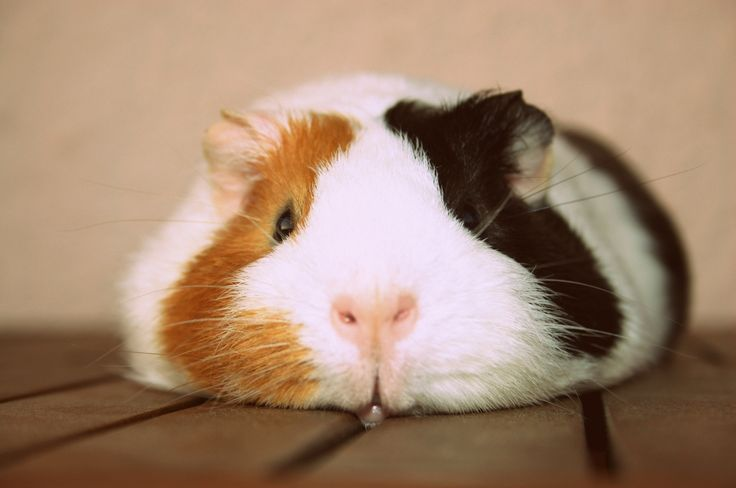 Make one special photo charms for your pets, 100% compatible with your Pandora bracelets.  Guinea Pig