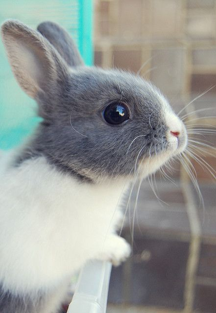 Grey and white bunny!