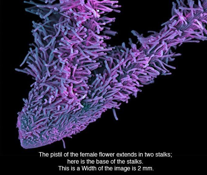 [Image]   Here's How Marijuana Looks Under A Microscope - TIMEWHEEL