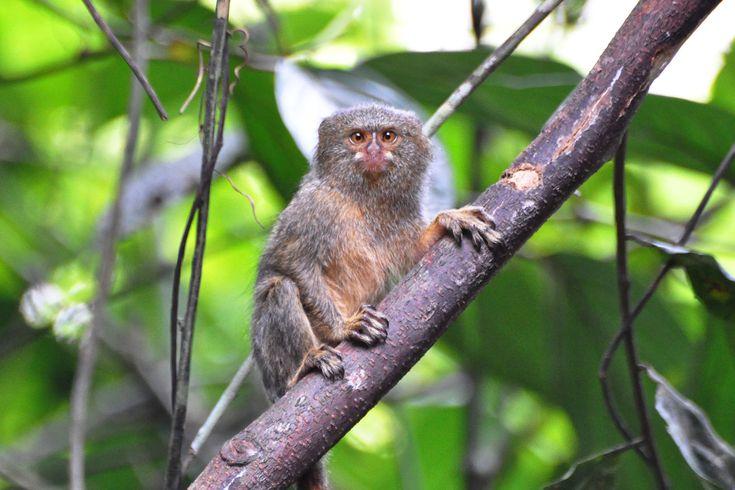 Le plus petit singe du monde : vous allez adorer le ouistiti pygmée ! - Linternaute.com Nature
