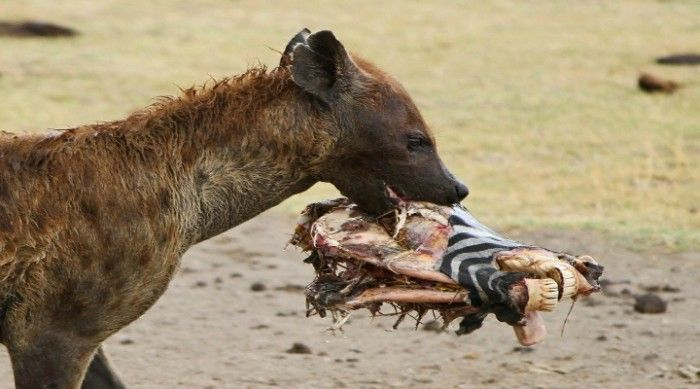 Hyena's Lethal Bite Force And Where Does It Come From