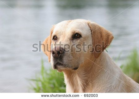 Duck Hunting Dogs Stock Photos, Images, & Pictures   Shutterstock