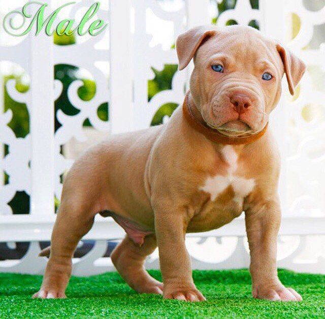 Beautiful pup!! Make sure to follow❗️❗️ @xxldesignerpitbulls #fawn #fire #oreo #power #popular #kennel #pitbull #kennel #dogs #nba #events #exclusive #exotic #xxl #ukc #unity #unique #thebullyplanet