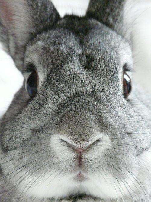 A close up shot of a grey rabbit.