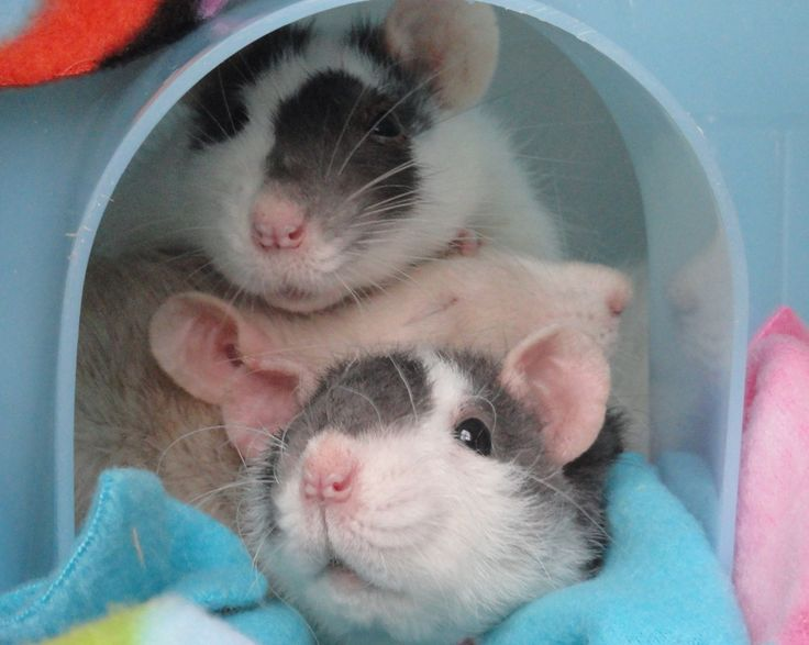 Our babies, Mama Mia, Prim, and Curly Sue.  Miss these little sweeties!