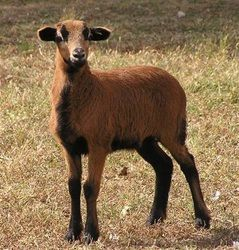 Bottle fed female baby Barbados Black Belly Sheep make great pets. You don't have to shear this breed.