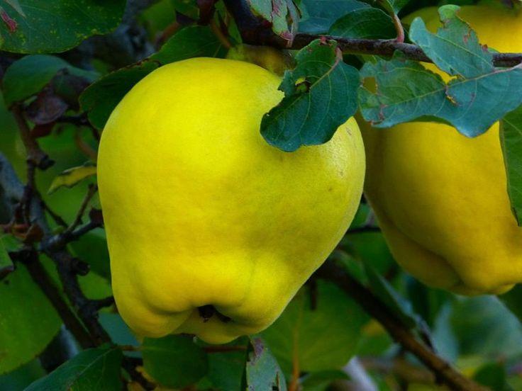 +++ Was hat Saison im NOVEMBER? +++  ~Regional und saisonal~ kaufen garantiert optimale Frische und oft einen besseren Geschmack, vor allem bei leicht verderblichem Obst.  Äpfel, Birnen und Quitten (im Bild) sind noch aus regionalem Anbau zu haben. Beim Kauf sollte man darauf achten, dass ihre Schale glatt und nicht beschädigt ist.