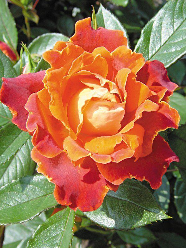 4102 best roser images on pinterest english roses. Black Bedroom Furniture Sets. Home Design Ideas