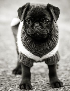All I want for Christmas is a black pug puppy.