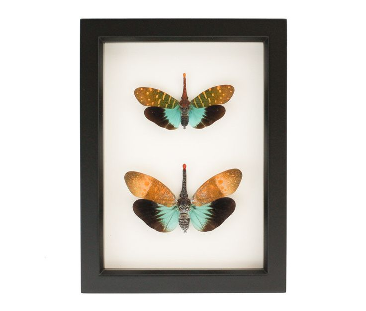 Framed Lanternfly Pair Insect Taxidermy Display by BugUnderGlass on Etsy https://www.etsy.com/listing/385184146/framed-lanternfly-pair-insect-taxidermy