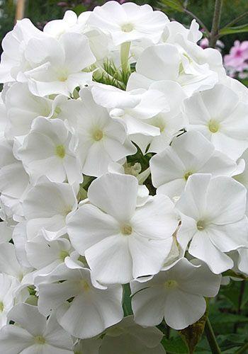 Phlox `White Sparr`