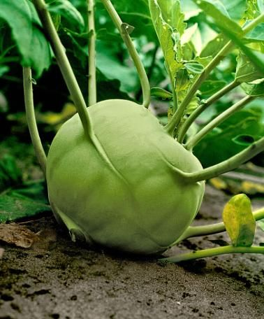 Kohlrabi 'Superschmelz' Kohlrabi 'Superschmelz' (Brassica oleracea) is a giant kohlrabi, soft like butter, for outdoor cultivation. If well fertilized it can reach a weight of up to 10 Kg! Can be sown until mid-April. It requires plenty of water. Kohlrabi 'Superschmelz' stores well in a cool place. Perfect for deep freezing.
