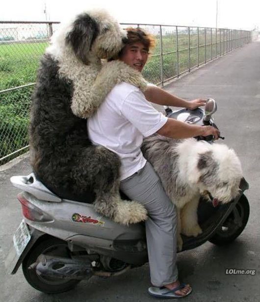 Two Old English Sheepdogs on a bike