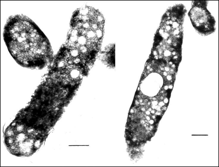 Marichromatium indicum  [000.005.077]