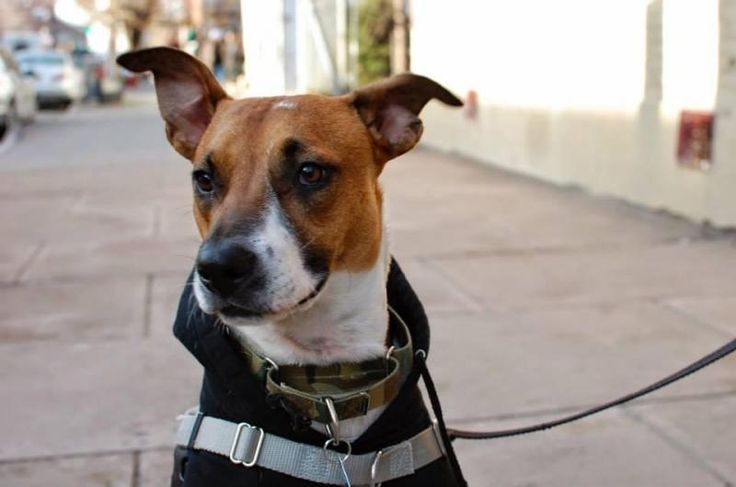 Meet Benedict Cumberbatch, a Petfinder adoptable Hound Dog | New York, NY | You don't have to be a regular Sherlock Holmes to know Benedict Cumberbatch is one awesome pup!...