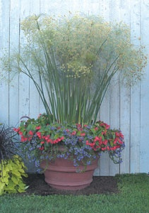 """Cyperus papyrus """"Paper Plant,"""" Scaevola aemula and Begonia 'Christmas Candy'"""