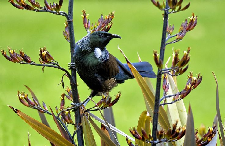 Tui Birds at Taupo DeBretts Spa Resort, New Zealand.