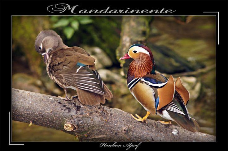 Mandarin-Ente.