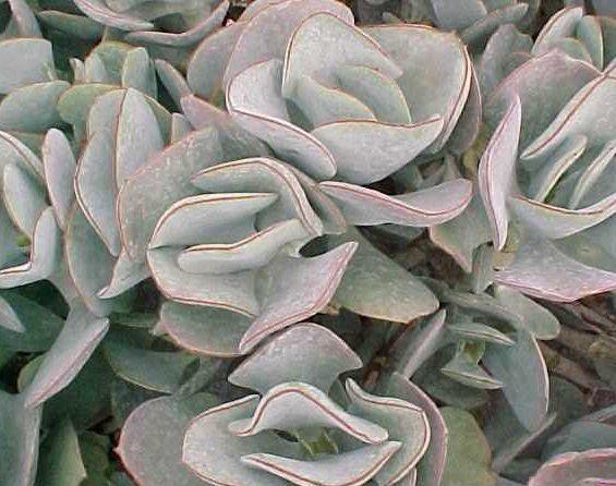 24 best orbiculata    flap jack   images on pinterest